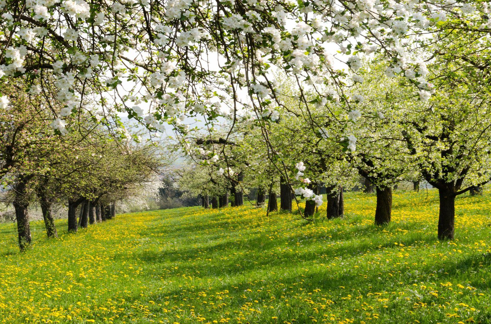 blühende Baumwiese bei Herrenberg