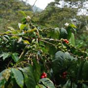 Kaffeekirschen - So wächst der Kaffee