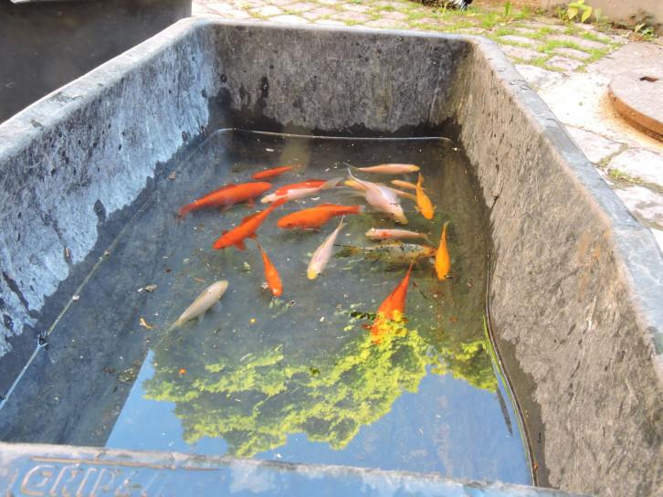Fische aus dem Brunnen in der Schuhgasse warten in einer Wanne
